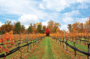 3.vineyard fall