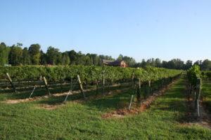 Vineyards 009